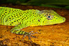 DA Iguania Iguanidae Dactyloidae<br /> Anolis transversalis<br /> Banded Tree Anole<br /> Male<br /> Madre Selva<br /> 2013