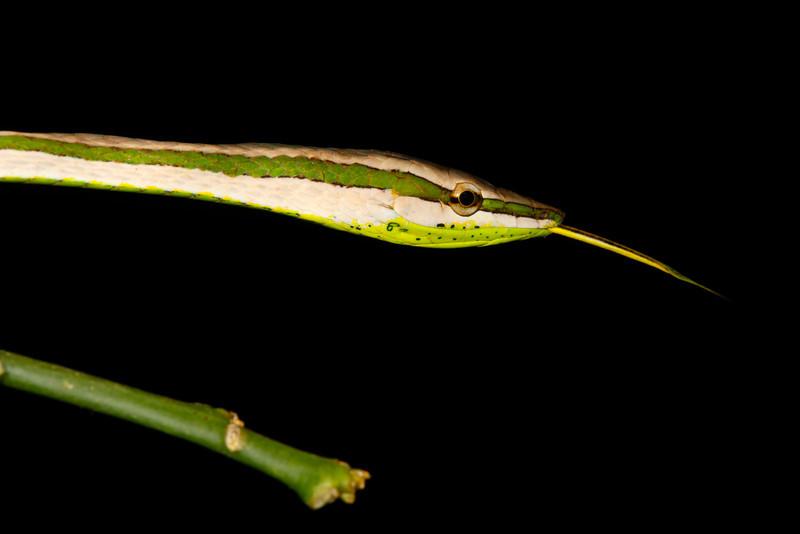 EEF Colubroidea Dipsadidae<br /> Philodryas argentea<br /> Green Striped Vine Snake<br /> Madre Selva<br /> 2013