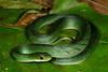 EEF Colubroidea Dipsadidae<br /> Erythrolamprus typhlus<br /> Velvety Swamp Snake<br /> Green Phase<br /> Madre Selva<br /> 2013