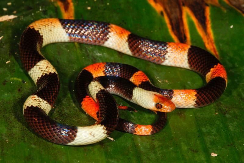 EEF Colubroidea Dipsadidae<br /> Oxyrhopus petolarius digitalis<br /> Banded Calico Snake<br /> Santa Cruz<br /> 2013