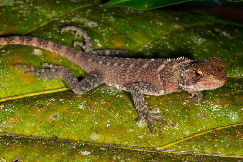 DA Iguania Iguanidae Hoplocercidae<br /> Enyalioides laticeps<br /> Amazon Forest Dragon<br /> Santa Cruz<br /> 2013