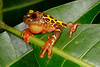 BC Hylidae Hylinae<br /> Dendropsophus leucophyllatus<br /> Clown Treefrog<br /> Madre Selva<br /> 2013