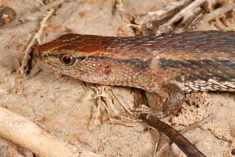 DCC Scincomorpha Gymnophthalmidae<br /> Alopoglossus angulatus<br /> Large Scaled Forest Lizard <br /> Madre Selva<br /> 2013