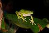 BC Hylidae Phyllomedusinae<br /> Phyllomedusa bicolor<br /> Giant Monkey Frog<br /> Santa Cruz<br /> 2013