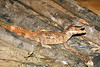 C Crocodylia Eusuchia Alligatoridae<br /> Paleosuchus trigonatus<br /> Smooth Fronted Caiman<br /> Nauta Road<br /> 2013