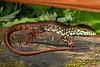 DCD Scincomorpha Teiidae<br /> Crocodilurus amazonicus<br /> Crocodile Tegu<br /> Madre Selva<br /> 2013