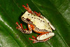 BC Hylidae Hylinae<br /> Dendropsophus triangulum<br /> Variable Clown Treefrog<br /> Madre Selva<br /> Specimen #4<br /> 2013