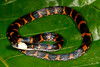 EEF Colubroidea Dipsadidae<br /> Atractus snethlageae<br /> Speciman #1<br /> Madre Selva<br /> 2013