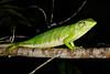 DA Iguania Iguanidae Polychrotidae <br /> Polychrus marmoratus<br /> Amazon Monkey Lizard<br /> Madre Selva<br /> 2013