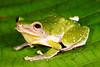 BG Strabomantidae Strabomantinae <br /> Pristimantis padiali<br /> Santa Cruz<br /> 2013