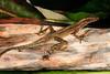 DA Iguania Iguanidae Dactyloidae<br /> Anolis trachyderma<br /> Common Forest Anole<br /> Santa Cruz<br /> 2013