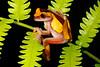 BC Hylidae Hylinae<br /> Dendropsophus triangulum<br /> Variable Clown Treefrog<br /> Santa Cruz<br /> Specimen #2<br /> 2013