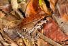BG Leptodactylidae<br /> Leptodactylus knudseni<br /> Knudsen's thin-toed frog<br /> Madre Selva<br /> 2013