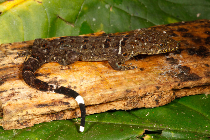 DB Gekkota Sphaerodactylidae <br /> Gonatodes concinnatus<br /> Collared Forest Gecko<br /> Madre Selva<br /> Female<br /> 2013