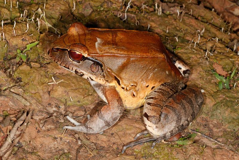 BG Leptodactylidae<br /> Leptodactylus pentadactylus<br /> Smoky Jungle Frog<br /> Madre Selva<br /> 2013