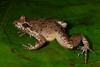 BG Leptodactylidae<br /> Leptodactylus wagneri<br /> Dwarf Jungle Frog<br /> Madre Selva<br /> 2013