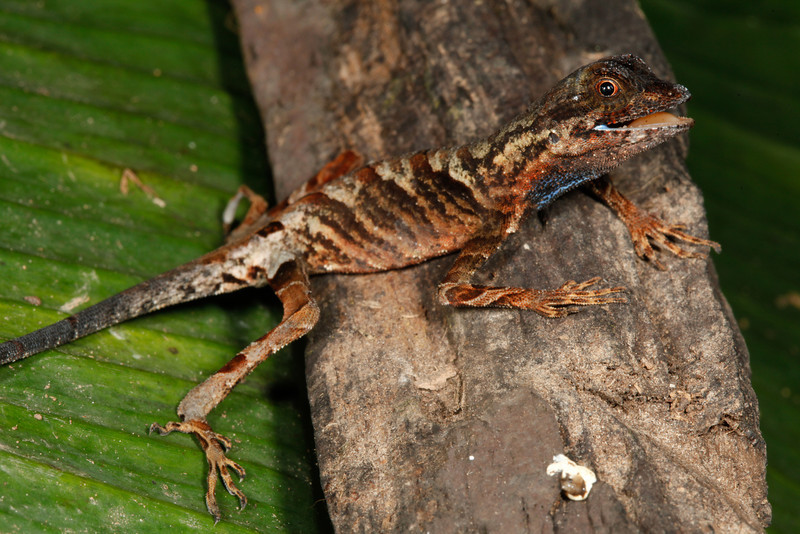 DA Iguania Iguanidae Dactyloidae<br /> Anolis bombiceps<br /> Blue Lipped Forest Anole<br /> Santa Cruz<br /> 2013