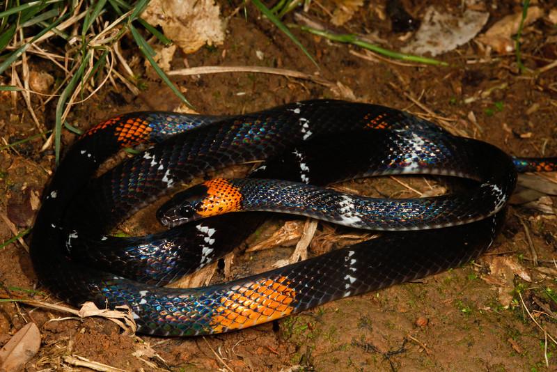 EEF Colubroidea Dipsadidae<br /> Oxyrhopus vanidicus<br /> Black Headed Calico Snake<br /> Specimen #2<br /> Santa Cruz<br /> 2013