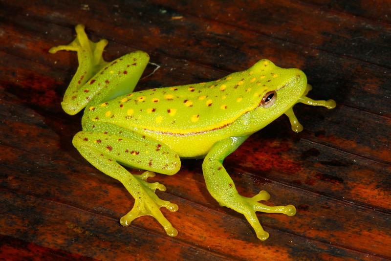 BC Hylidae Hylinae<br /> Hypsiboas punctatus<br /> Polkadot Treefrog<br /> Santa Cruz<br /> 2013