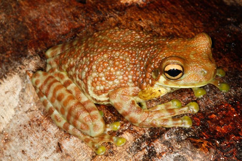 BC Hylidae Hylinae<br /> Trachycephalus cunauaru<br /> Amazon Milk Frog<br /> Madre Selva<br /> 2013