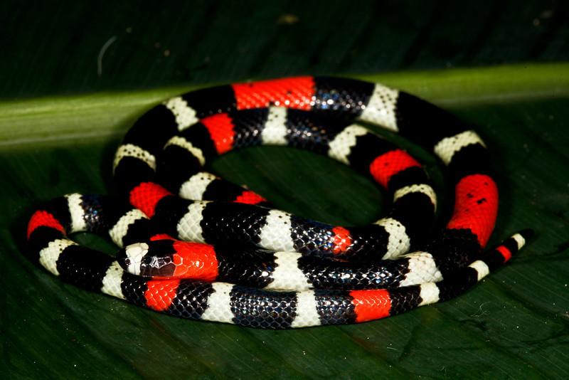 EI Colubroidea Elapidae Elapinae<br /> Micrurus lemniscatus<br /> Eastern Coral Ribbon Snake<br /> Santa Cruz<br /> 2013