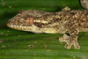 DB Gekkota Phyllodactylidae<br /> Thecadactylus rapicauda<br /> Turniptail Gecko<br /> Madre Selva<br /> 2013