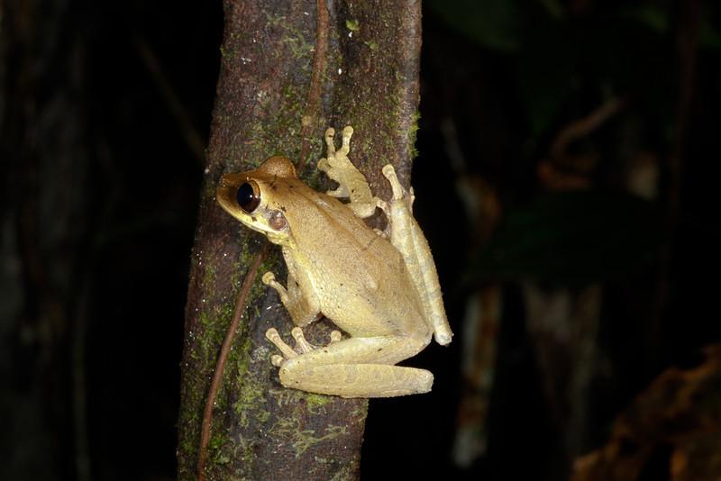BC Hylidae Hylinae<br /> Osteocephalus planiceps<br /> Flat Headed Bromeliad Treefrog<br /> Santa Cruz<br /> 2013