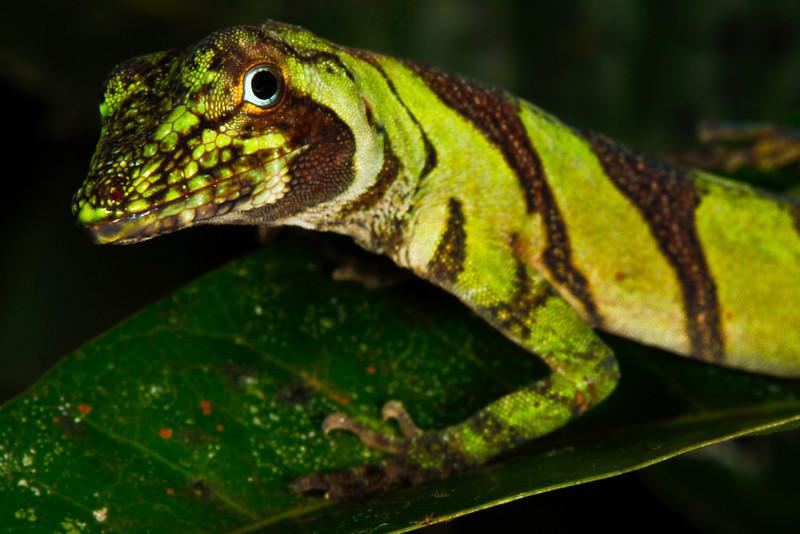 DA Iguania Iguanidae Dactyloidae<br /> Anolis transversalis<br /> Banded Tree Anole<br /> Female<br /> Speciman #2<br /> Santa Cruz<br /> 2013