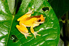 BC Hylidae Hylinae<br /> Dendropsophus triangulum<br /> Variable Clown Treefrog<br /> Santa Cruz<br /> Specimen #5<br /> 2013