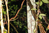 EEB Colubroidae Colubridae<br /> Chironius exoletus<br /> Common Whipsnake<br /> In situ (and not captured at least 8 feet long)<br /> Santa Cruz<br /> 2013