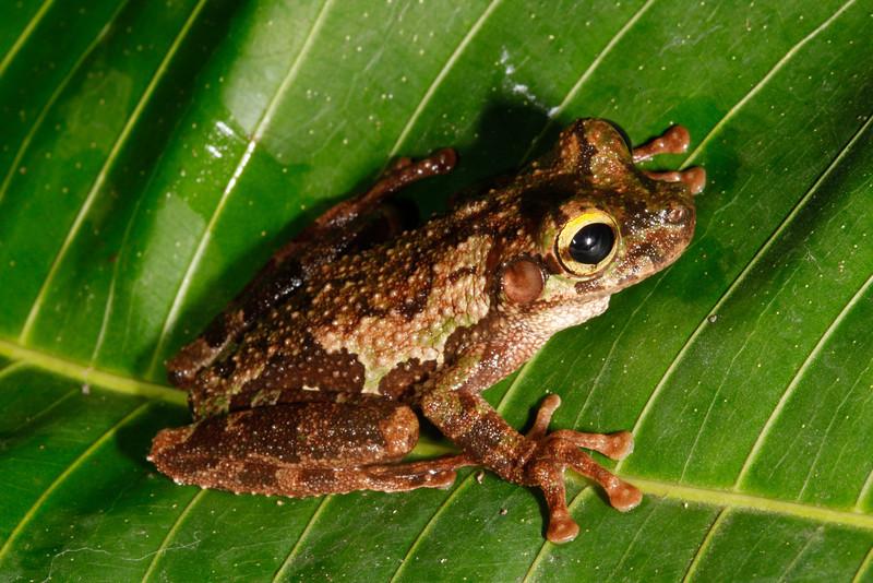 BC Hylidae Hylinae<br /> Osteocephalus buckleyi<br /> Buckley's Slender Legged Treefrog<br /> Santa Cruz<br /> 2013
