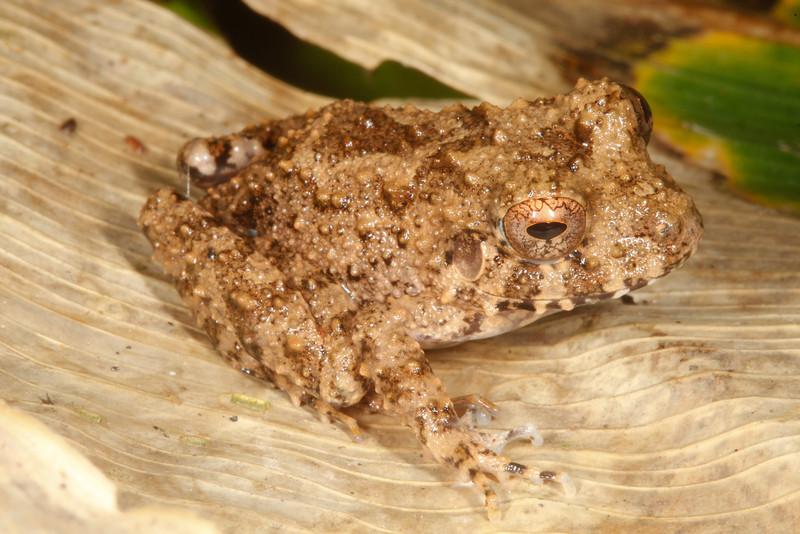 BG Strabomantidae Strabomantinae<br /> Oreobates quixensis<br /> Common Big Headed Rain Frog<br /> Madre Selva<br /> 2013