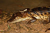 C Crocodylia Eusuchia Alligatoridae<br /> Caiman crocodilus<br /> Spectacled caiman<br /> Santa Cruz<br /> 2013