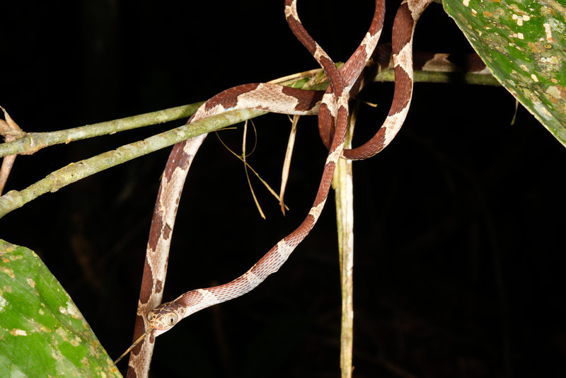 EEF Colubroidea Dipsadidae<br /> Imantodes cenchoa<br /> Common Blunt Headed Tree Snake<br /> eating Anolis trachyderma<br /> Madre Selva<br /> Photo #7<br /> 2013