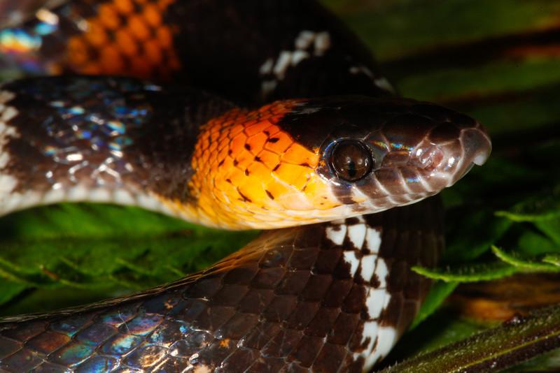 EEF Colubroidea Dipsadidae<br /> Oxyrhopus vanidicus<br /> Black Headed Calico Snake<br /> Specimen #1<br /> Santa Cruz<br /> 2013