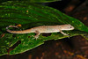 DB Gekkota Sphaerodactylidae <br /> Gonatodes humeralis<br /> Bridled Forest Gecko<br /> Madre Selva<br /> Female<br /> 2013