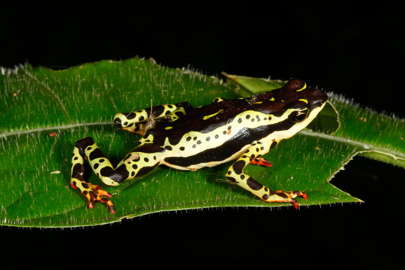 BA Bufonidae<br /> Atelopus spumarius<br /> Amazon Harlequin Toad<br /> Madre Selva<br /> 2013