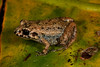 BG Leptodactylidae<br /> Adenomera hylaedactyla<br /> Forest Chirping Frog<br /> Madre Selva<br /> 2013