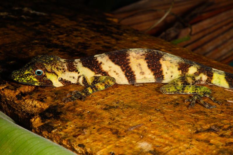 DA Iguania Iguanidae Dactyloidae<br /> Anolis transversalis<br /> Banded Tree Anole<br /> Female<br /> Santa Cruz<br /> 2013