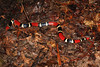 EI Colubroidea Elapidae Elapinae<br /> Micrurus surinamensis<br /> Aquatic Coral Snake<br /> Madre Selva<br /> Speciman #2<br /> In situ<br /> 2013
