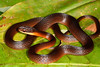 EEB Colubroidae Colubridae<br /> Drymoluber dichrous <br /> Amazon Glossy Racer<br /> Madre Selva<br /> 2013