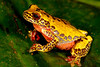 BC Hylidae Hylinae<br /> Dendropsophus triangulum<br /> Variable Clown Treefrog<br /> Madre Selva<br /> Specimen #2<br /> 2013