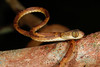 EEF Colubroidea Dipsadidae<br /> Imantodes lentiferus<br /> Amazon Blunt Headed Tree Snake<br /> Santa Cruz<br /> 2013