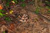 EL Colubroidea Viperidae Crotalinae<br /> Lachesis muta<br /> South American Bushmaster<br /> Initial view in situ<br /> Santa Cruz<br /> 2013