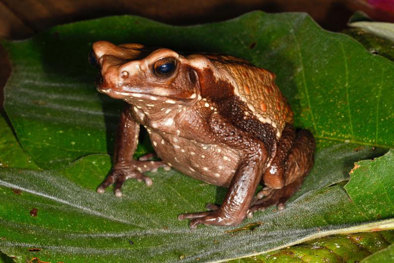 BA Bufonidae<br /> Rhaebo guttatus<br /> Smooth Sided Toad<br /> Santa Cruz<br /> 2013