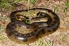 ED Booidea Boidae Boinae<br /> Eunectes murinus<br /> Green Anaconda<br /> Madre Selva<br /> 2013