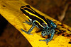 BE Dentrobatidae Dendrobatinae<br /> Ranitomeya variabilis<br /> Variable Poison Frog<br /> Madre Selva<br /> 2013