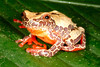 BC Hylidae Hylinae<br /> Dendropsophus triangulum<br /> Variable Clown Treefrog<br /> Madre Selva<br /> Specimen #1<br /> 2013