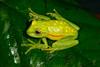 BC Hylidae Hylinae<br /> Boana punctata<br /> Florescent / Polka-dot Treefrog<br /> Madre Selva<br /> 2013