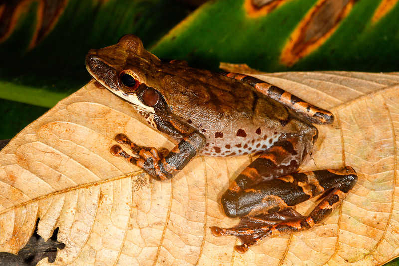 BC Hylidae Hylinae<br /> Osteocephalus taurinus<br /> Giant Broad Headed Treefrog<br /> Santa Cruz<br /> 2013